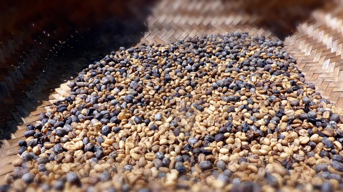 Luwak-coffee-beans-dry-slowly-in-the-sun.-e1436783985506